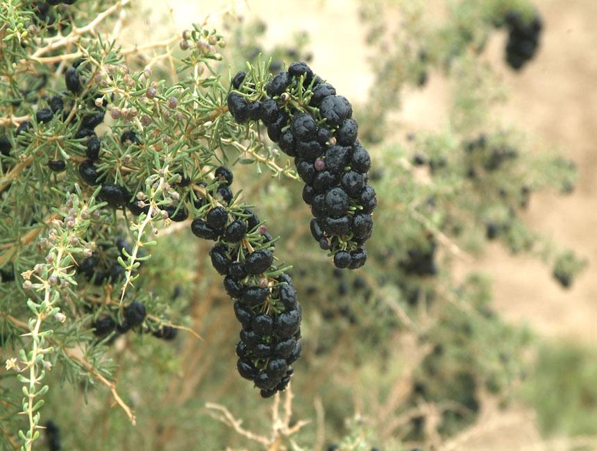 野生黑枸杞的营养成分