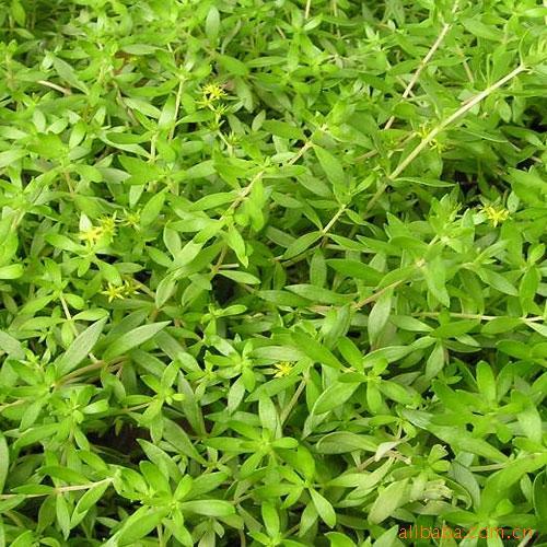 决明子茶的功效与作用_【佛甲草】佛甲草的功效与作用_药用价值_佛甲草和垂盆草区别